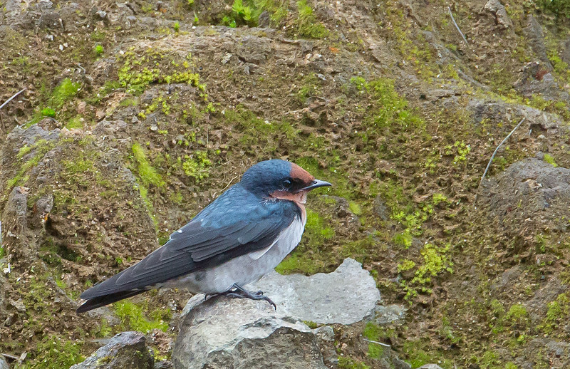 Pacific Swallow - javanica ssp