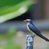 Pacific Swallow - javanica ssp