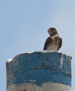 Progne chalybea - Grey-breasted Martin