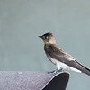 Southern Rough-winged Swallow - decolor ssp