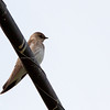 Northern Rough-winged Swallow - psammochrous ssp