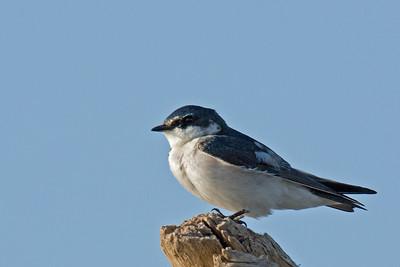 Tachycineta albilinea - Mangrove Swallow