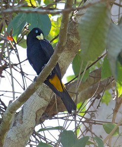 Cacicus cela - Yellow-rumped Cacique