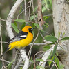 Hooded Oriole - nelsoni ssp