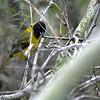 Audubon's Oriole - audubonii ssp