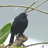 Shiny Cowbird - aequatorialis ssp