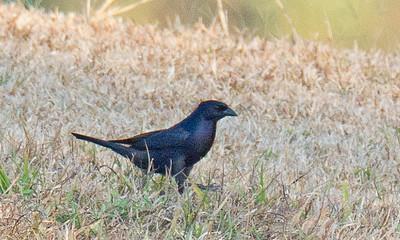 Molothrus bonariensis - Shiny Cowbird
