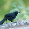 Shiny Cowbird - cabanisii ssp