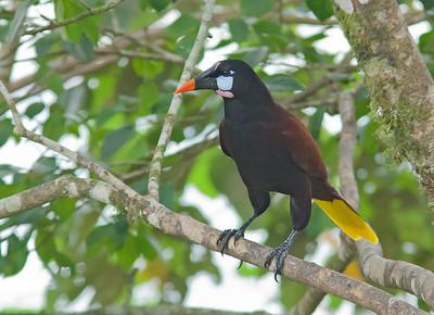 Psarocolius montezuma - Montezuma Oropendola