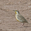 Eastern Meadowlark - lilianae ssp