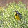 Eastern Meadowlark - hoopesi ssp