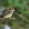 Brown Shrike - lucionensis ssp