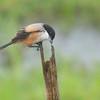 Lon-tailed Shrike - nasutus ssp