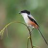 Long-tailed Shrike - nasutus ssp