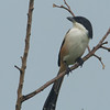 Long-tailed Shrike - nasutus ssp