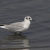 Bonaparte's Gull - non-breeding
