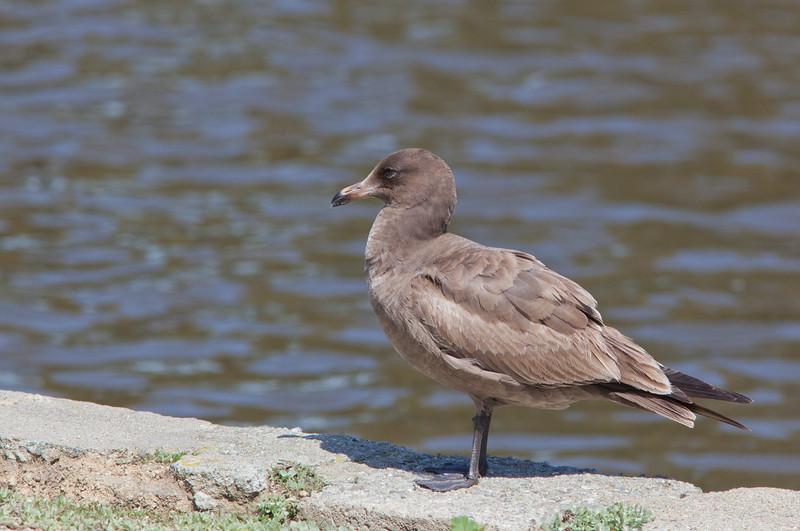 Heermann's Gull - immature