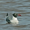 Laughing Gull - megalopterus ssp