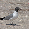 Laughing Gull - megalopetrus ssp