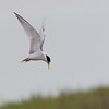 Least Tern - browni ssp