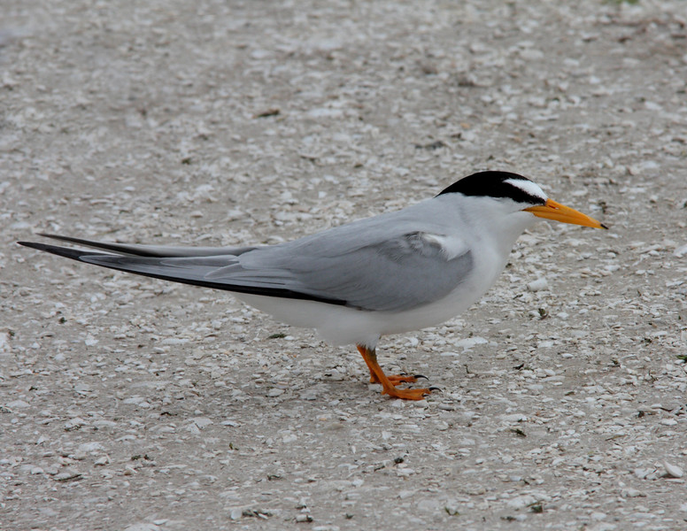 Least Tern- browni ssp