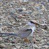 Least Tern - browni ssp - immature