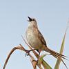 Striated Grassbird - forbesi ssp