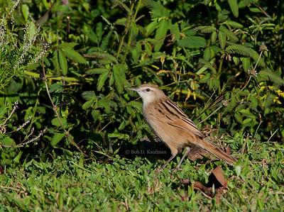 Megalurus palustris - Striated Grassbird