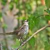 Tawny Grassbird - tweeddalei ssp
