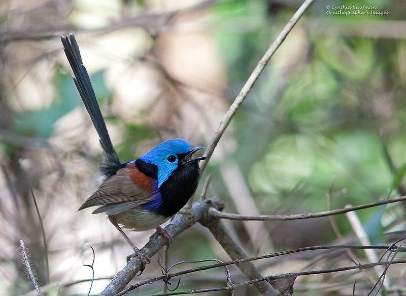 Variegated Fairywren - lamberti ssp - male