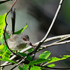 Variegated Fairywren - lamberti ssp - female