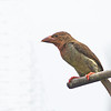 Brown Barbet - tertius ssp