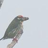 Coppersmith Barbet - haemacephalus ssp