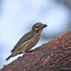 Coppersmith Barbet - haemacephalus ssp - immature