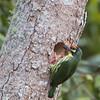 Coppersmith Barbet - mindanensis ssp