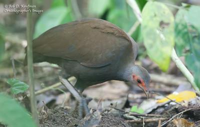 Megapodius cumingii - Philippine Megapode
