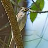 Yellow-faced Honeyeater - chrysops ssp