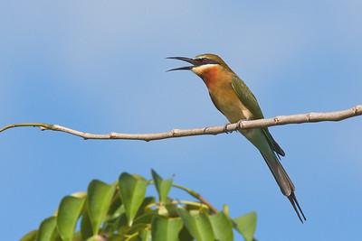 Meropidae - Bee-eaters