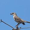 Northern Mockingbird - polyglottos ssp