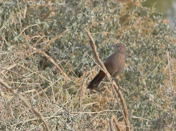 Crissal's Thrasher - crissale ssp