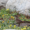 California thrasher - redivivum ssp