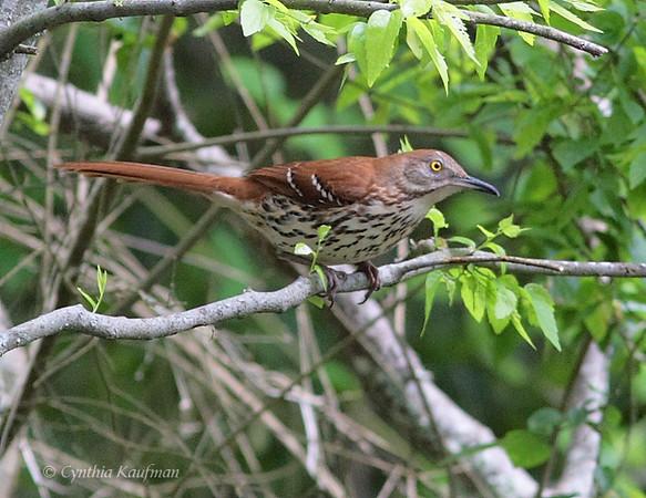 Brown Thrasher - longicauda ssp