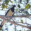 Magpie-lark - cyanoleuca ssp