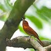 Rufous Paradise Flycatcher - unirufa ssp - female