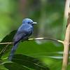 Blue Paradise Flycatcher - male