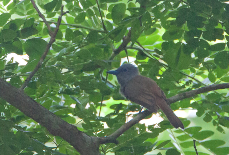 Blue Paradise Flycatcher - female