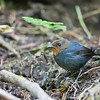 White-browed Shortwing - andersoni ssp