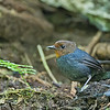 White-browed Shortwing - andersoni ssp - female