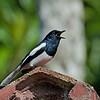 Oriental Magpie-Robin - musicus ssp