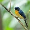 Mangrove Blue Flycatcher - blythi ssp